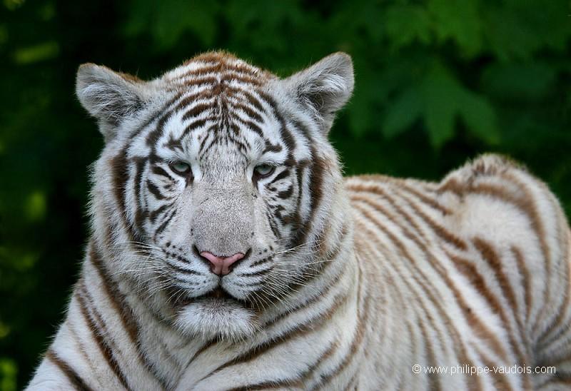 Tigre blanc royal - Photo de tigre a imprimer ...