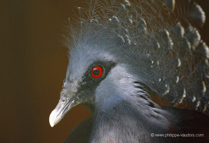 Philippe vaudois goura de victoria photographe phototem moteur de recherche - Jardin des oiseaux la londe ...